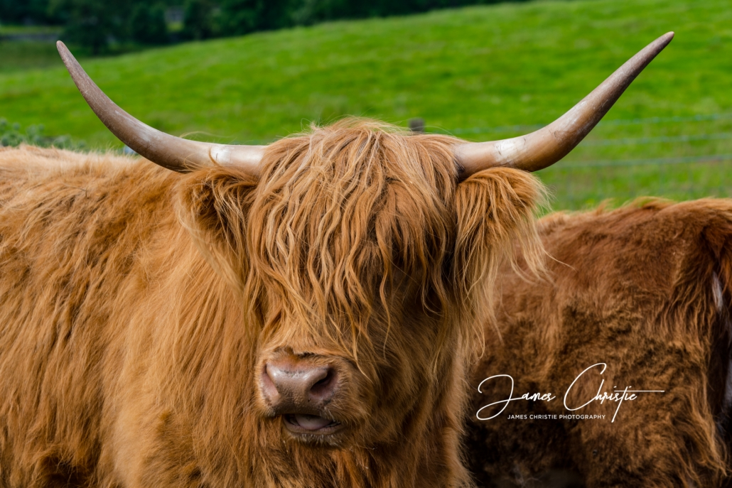 Hairy Coo, Highland Cow, Highland cattle, Edinburgh Photography Tours