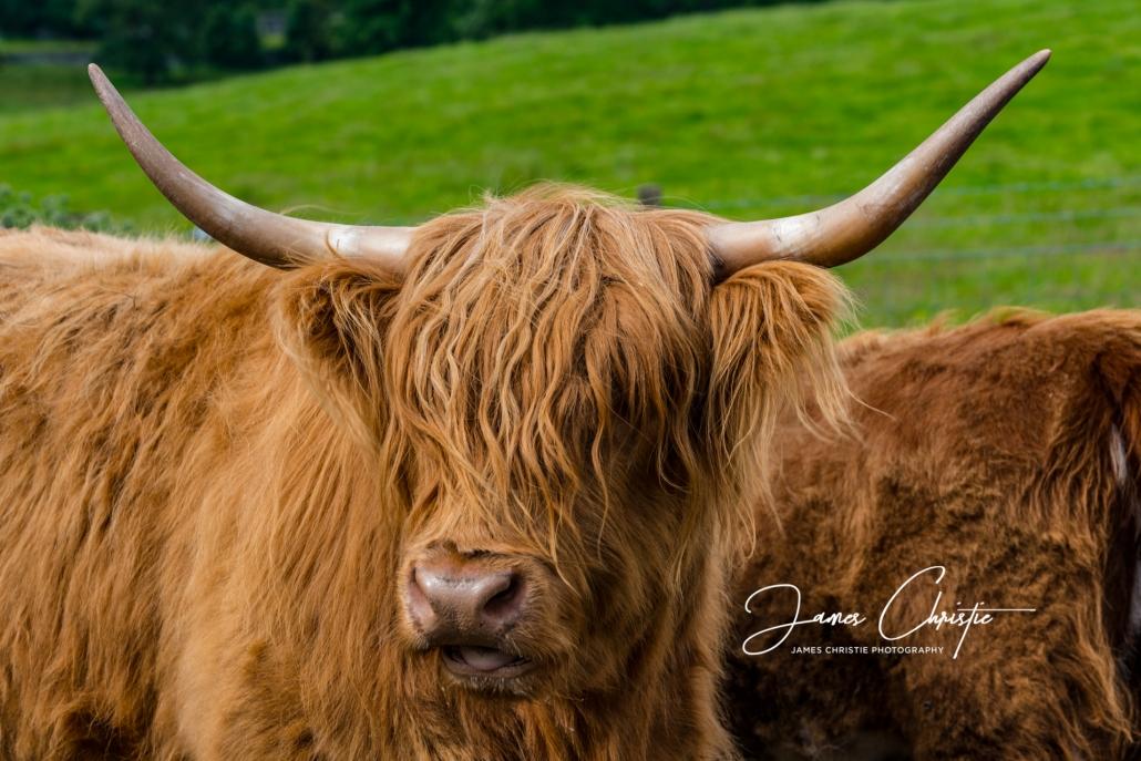 Hairy Coo, Highland Cow, Highland cattle, Edinburgh Photography Tours