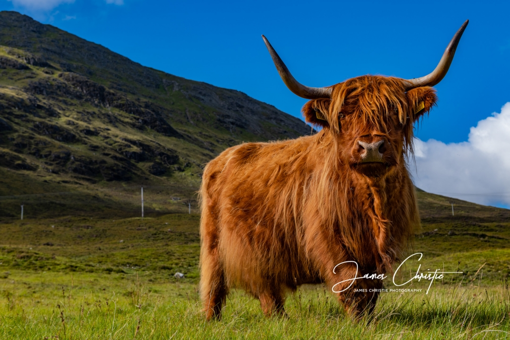 Hairy coo, Highland cow, Isle of Skye, Scotland, Photography Tour, Private photography tour of Scotland, Custom photography tour of Scotland, Scotland guided tour