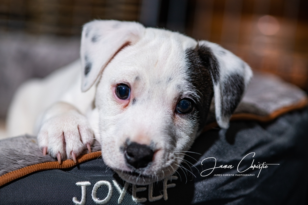 Edinburgh Photography Tour, Puppy, Parson Russell Terrier